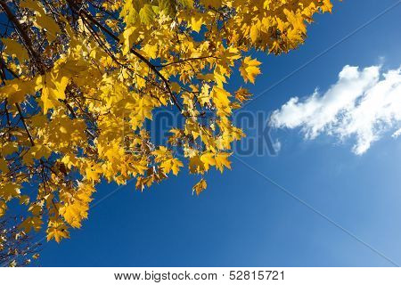 Yellow maple leaves on blue sky background