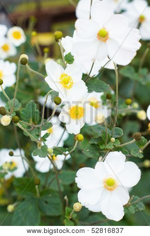 White Crocus Flowers