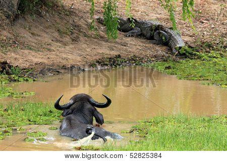 Buffalo and Crocodile