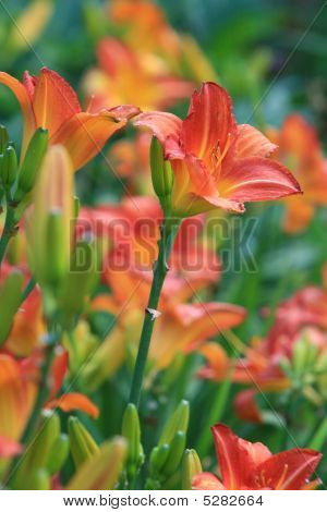 Bunch Of Tiger Lilies