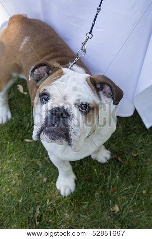 Bulldog looking quizzical