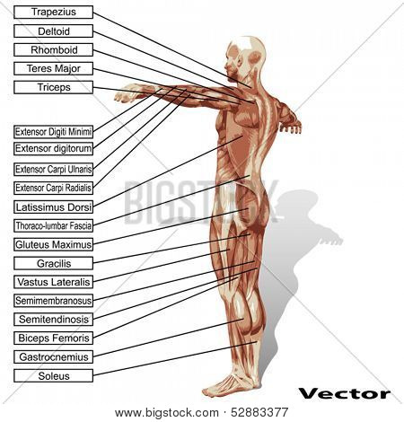 Vector 3D male or human anatomy, a man with muscles and text isolated on white background