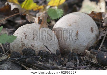 Phallus Impudicus Mushroom