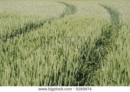 Wheat With Tractor Tracks