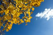 Branch of yellow maple leaves on blue sky background poster