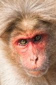 Closeup portrait of bonnet macaque in Bandipur National Park India. poster
