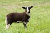 Jacob lamb with budding horns standing in grass poster