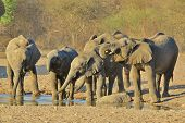 A group of African Elephant calves and youngsters drink water together, as seen in the wilds of Africa. poster