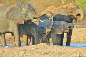 A small herd of African Elephant enjoy cool water and quench their thirst, as seen in the wilds of Africa. poster