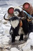Black-and-white nepalese yak with two gas cylinders Himalaya mountains,Everest region poster