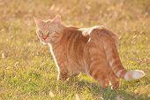 Ginger tabby cat in evening sun poster