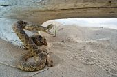 A rattle snake ready to strike by a bleached out log. poster