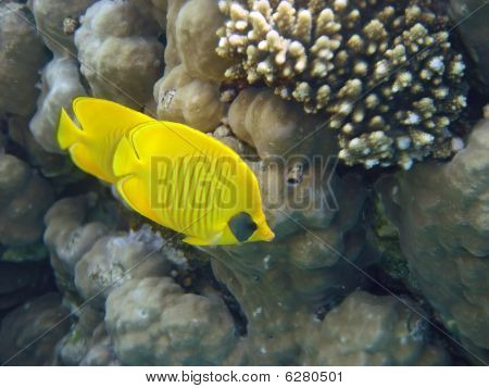 Yellow Masked Butterfly Fish (Chaetodon semilarvatus) in Red sea. Usually they spend all time in couple poster