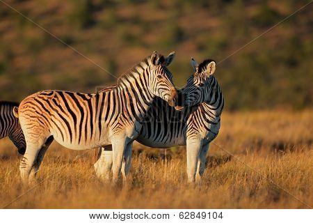 Plains (Burchells) Zebras (Equus burchelli) in early morning light, South Africa