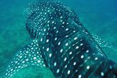 Whale Shark (Rhincodon typus) swimming  in crystal clear blue waters at Maldives poster