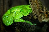 Image of the Very Deadly Green Pit Viper poster