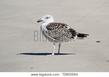 Juvenile Greater Black-backed Gull (Larus marinus) standing by the Atlantic Ocean poster