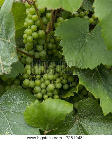 Grapes And Leaves In Vinyard