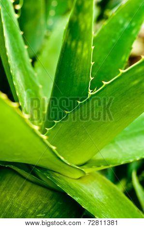 Aloe Vera Closeup.