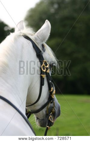 Andalusian: Backview