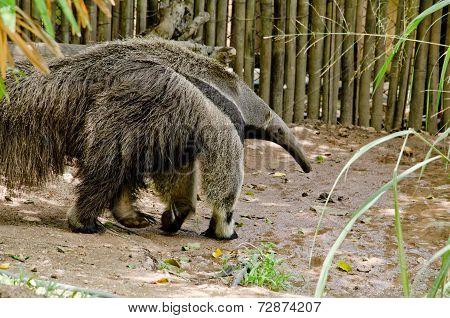 Giant Anteatter