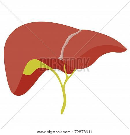 Anatomic Liver Illustration On White Background