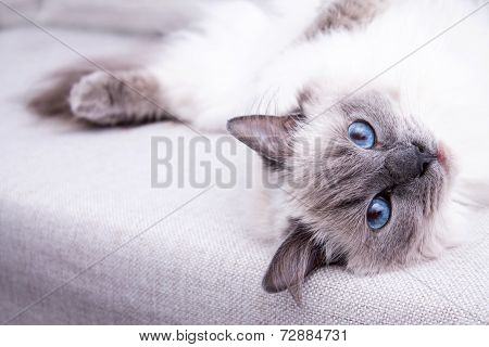 Blue colorpoint Ragdoll cat lying on the couch