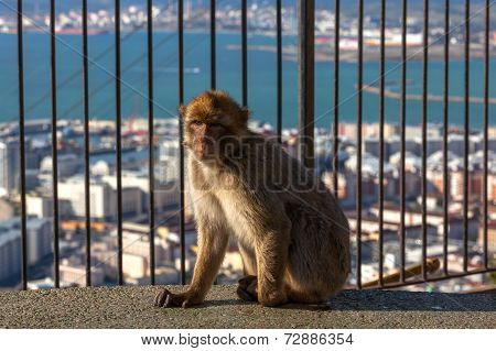 Gibraltar Monkeys Or Barbary Macaques