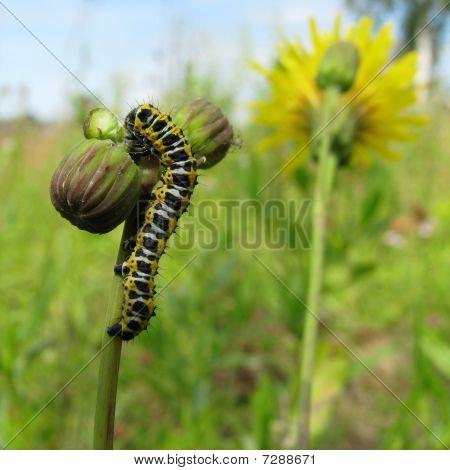 Varicolored caterpillar