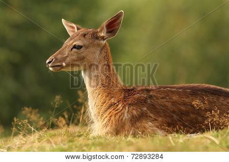 Fallow Deer Resting On Glade