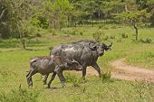 Mother and Baby Cape Buffalo after a mud bath in Lake Mburo National park poster