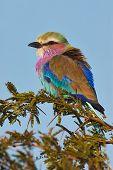 LIlac breasted roller at Kruger National Park poster
