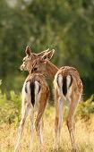 fallow deer ( Dama ) brothers standing together in a glade poster