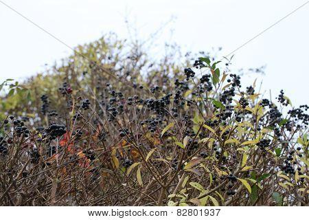 Privet Fruits