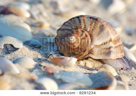 Empty Seashell Of Marine Mollusc Rapana Venosa On The Black Sea Coast