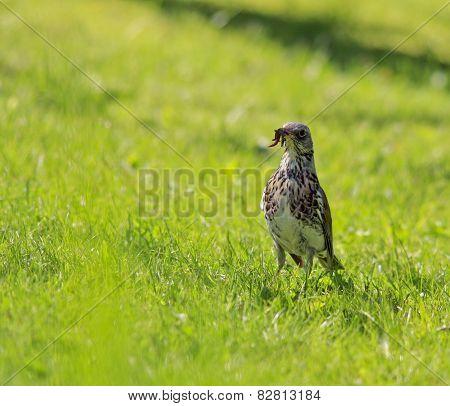 Fieldfare, Turdus pilaris on the lawn.