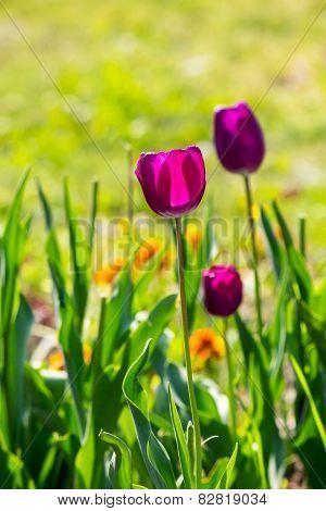 Purple Tulip On Blurred Background Of Grass