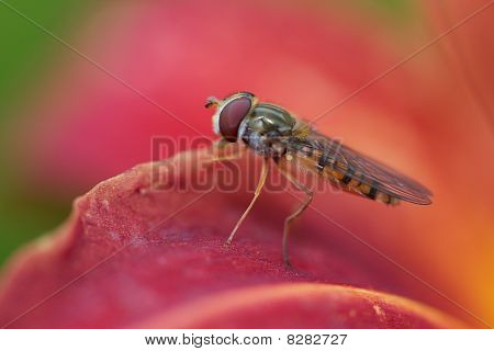 Hover fly on red flower