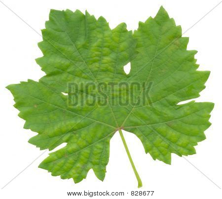 Grape Leaf 01