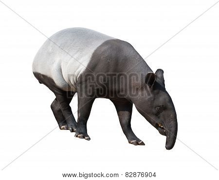 Malayan Tapir Or Asian Tapir Isolated