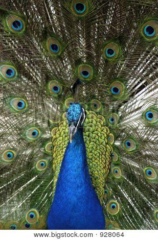 Tier Blaue Pfau (Pavo Cristatus)