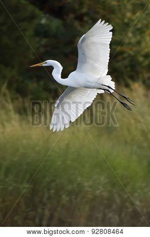 Egret in Summer