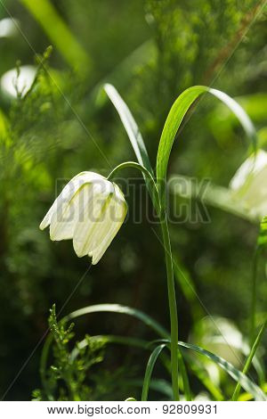Fritillaria (plant In The Lily Family). Alone White Flower On Green Natural Background.