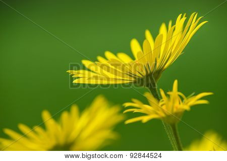 Yellow Daisy Flowers In Spring
