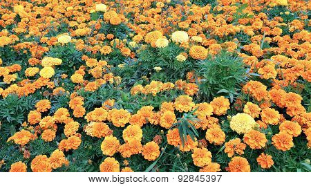 Lot Of Bright Orange Marigold Flowers