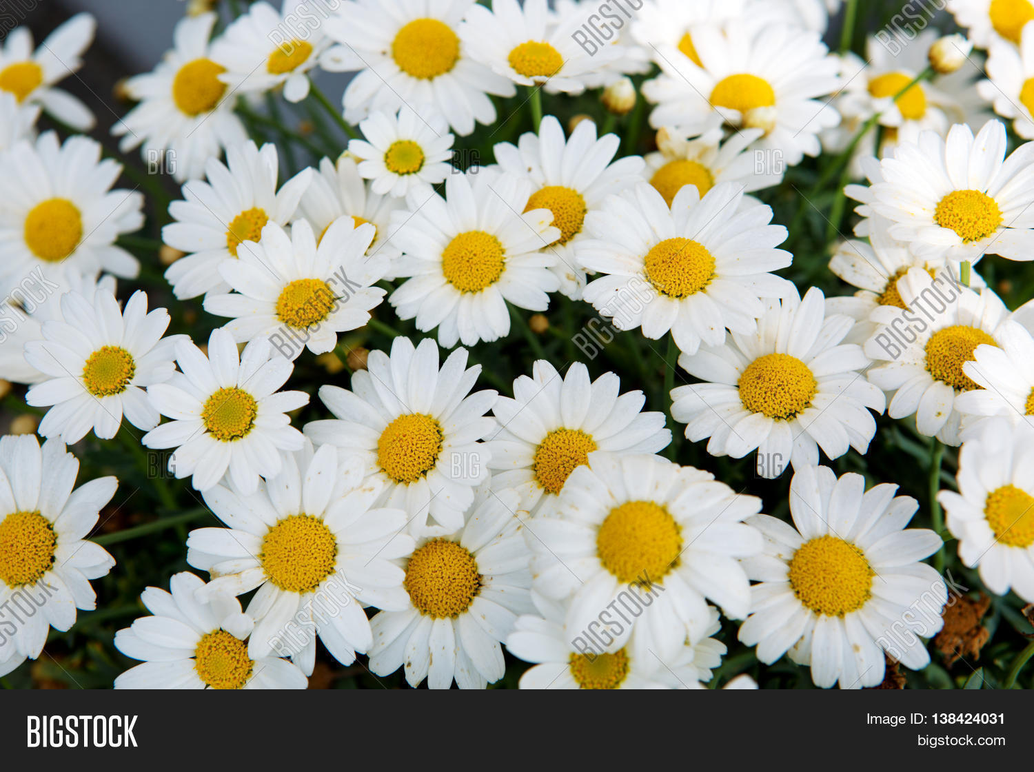 Daisy flowers image photo free trial bigstock daisy flowers backgroundcro of beautiful white daisies flowers izmirmasajfo