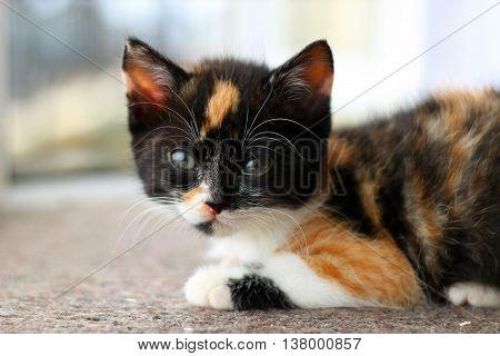 A tiny tortoiseshell kitten lying in a window