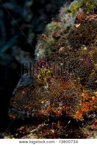 Scorpionfish Face Side Profile