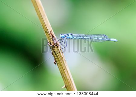 Damselfly perched on a stem close up