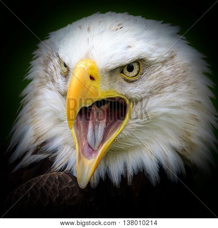 A Bald eagle (Haliaeetus leucocephalus) Close up